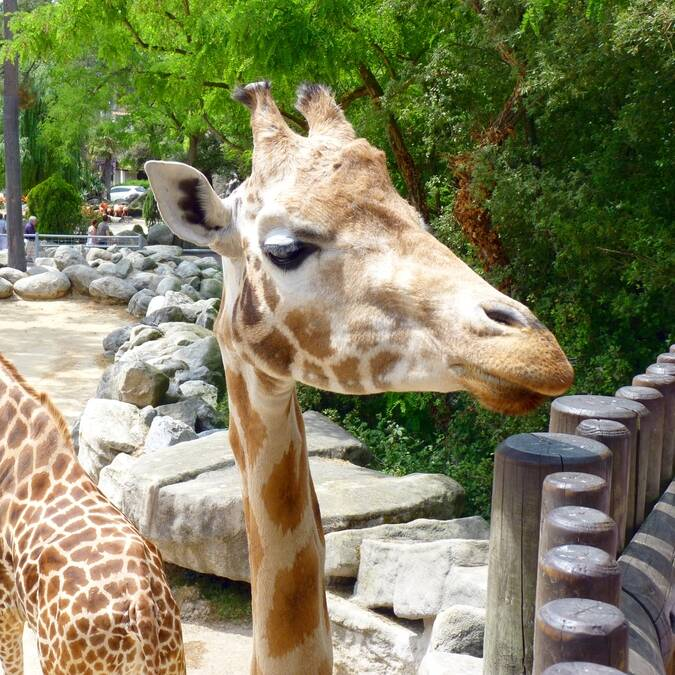 Giraffes at Palmyre zoo © FDHPA 17